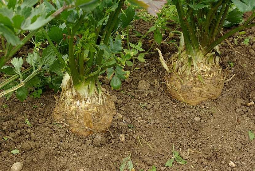 Pěkně narostlé bulvy před sklizní
