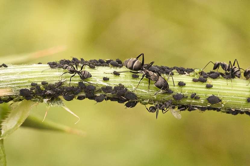 Mravenci a mšice