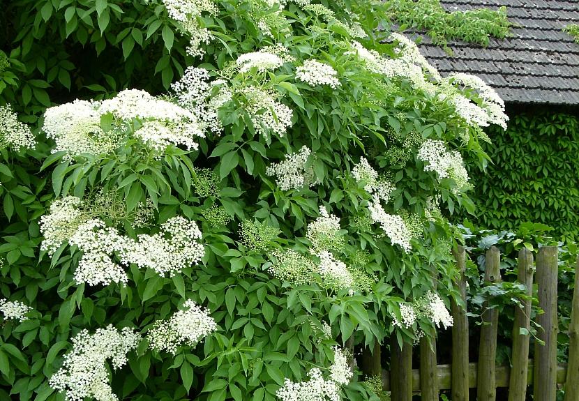 Bíle kvetoucí keře rozjasní každou zahradu 1
