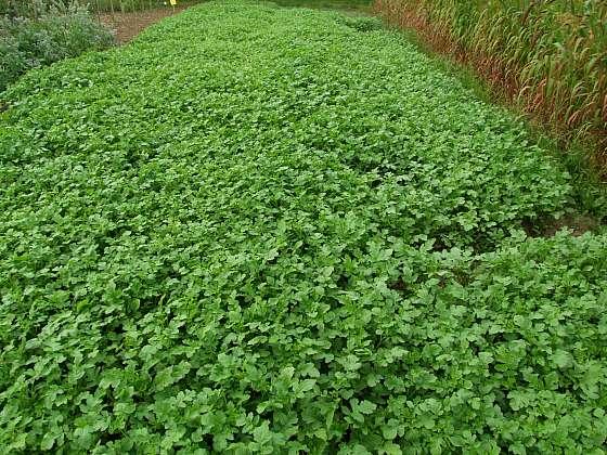 Nebojte se zeleného hnojení (Zdroj: Ludmila Dušková)