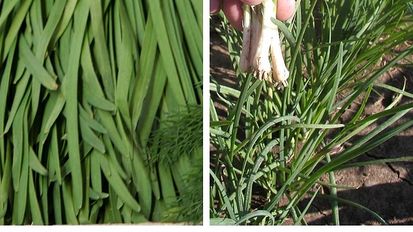Pažitka čínská (Allium tuberosum)