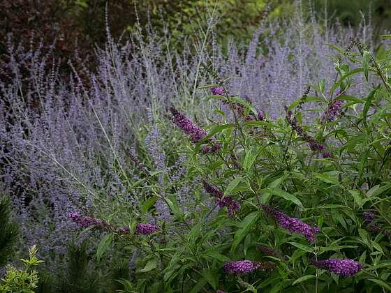 Perovskie, ruská šalvěj je ozdobným opadavým keřem s modrofialovými květy (Zdroj: Daniela Dušková)