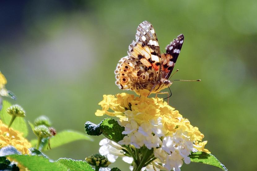 Motýli liboru přímo milují