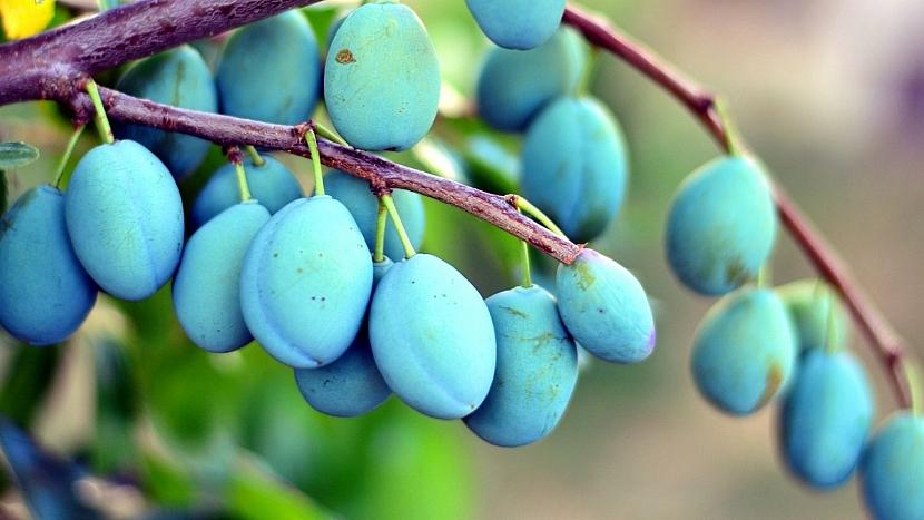 Předpověď počasí a zahrada: u švestek a jabloní vypadá úroda velice slibně
