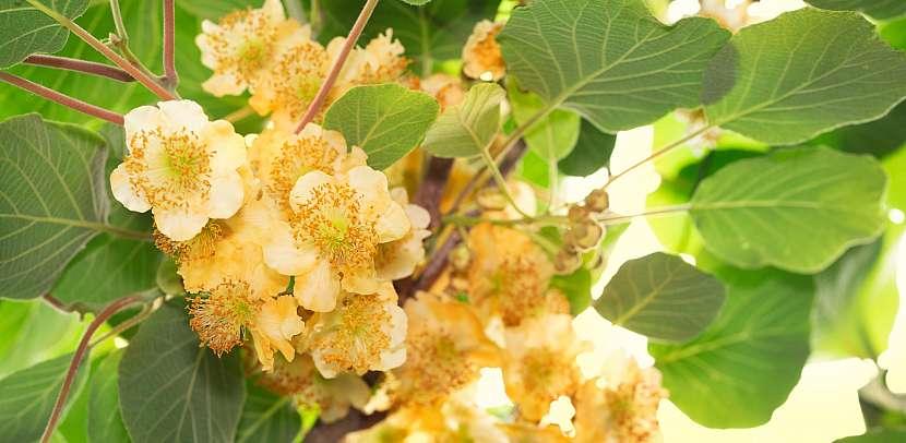 Květy kiwi
