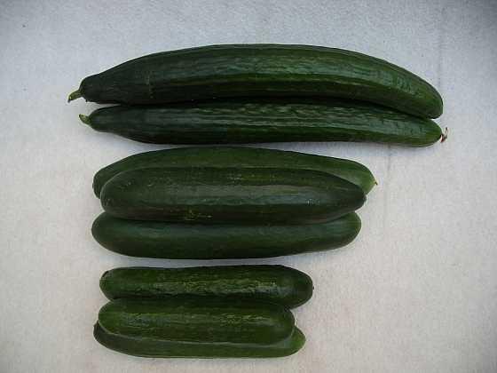 Oblíbené salátové okurky ve velikosti mini, midi, maxi (Zdroj: Ludmila Dušková)