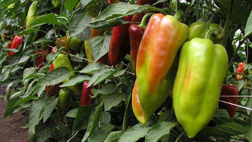 Paprika roční (Capsicum annuum): odrůda Lungy F1