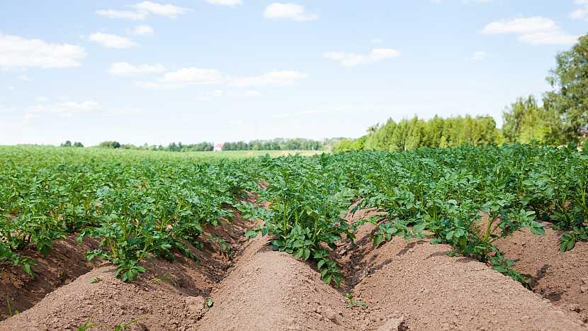 Lány s rostlinkami brambor