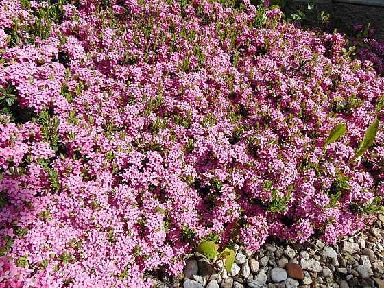 Lýkovec Daphne cneorum v plném květu a s neodolatelnou vůní  luxusního parfému (Zdroj: Jiří Trojan)