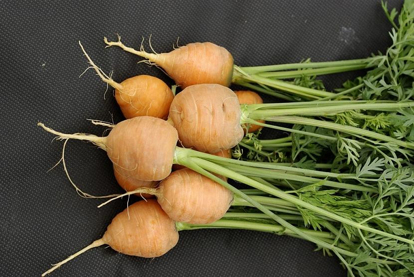 Mrkev Rondo - nová kulatá odrůda
