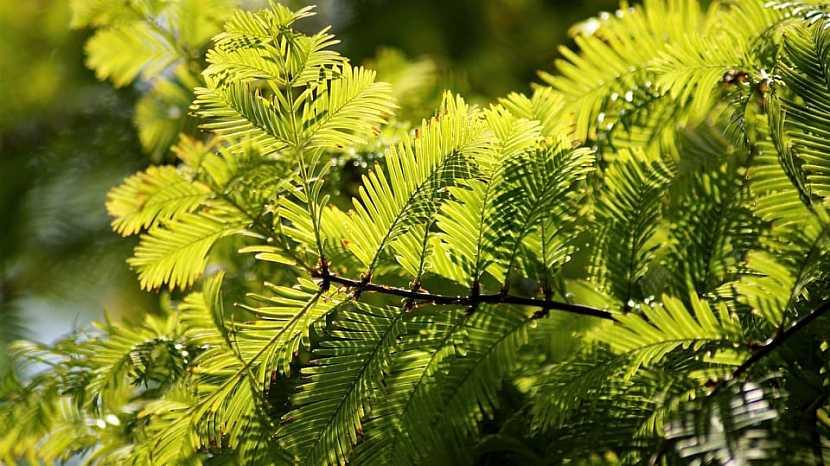 Rostliny vhodné do živého plotu: tis (Taxus)