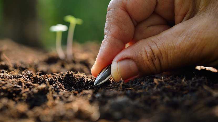 Jak a kdy se pustit do pěstování slunečnic 3