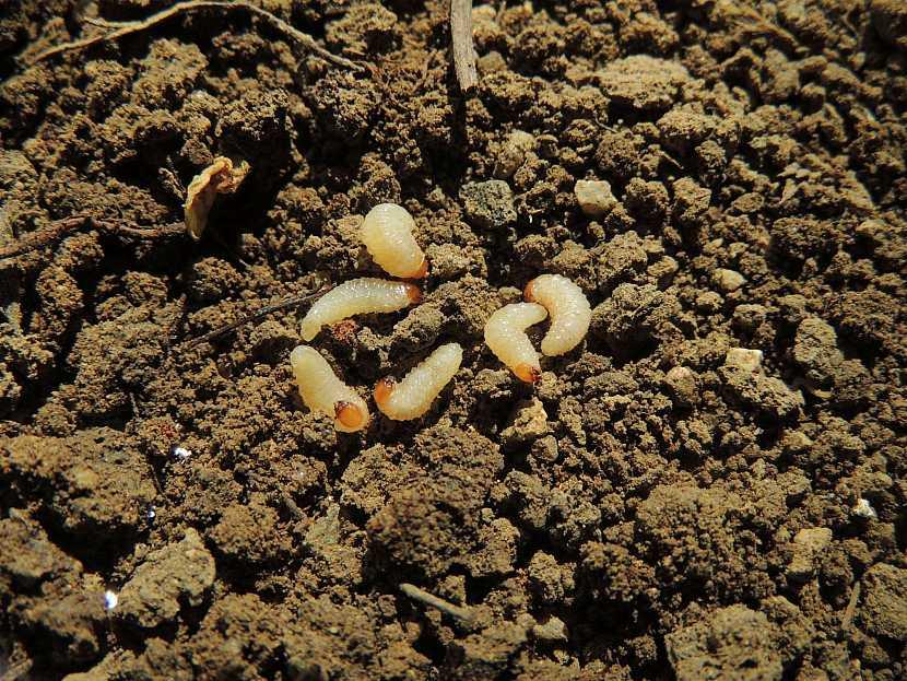 Lalokonosec larvy