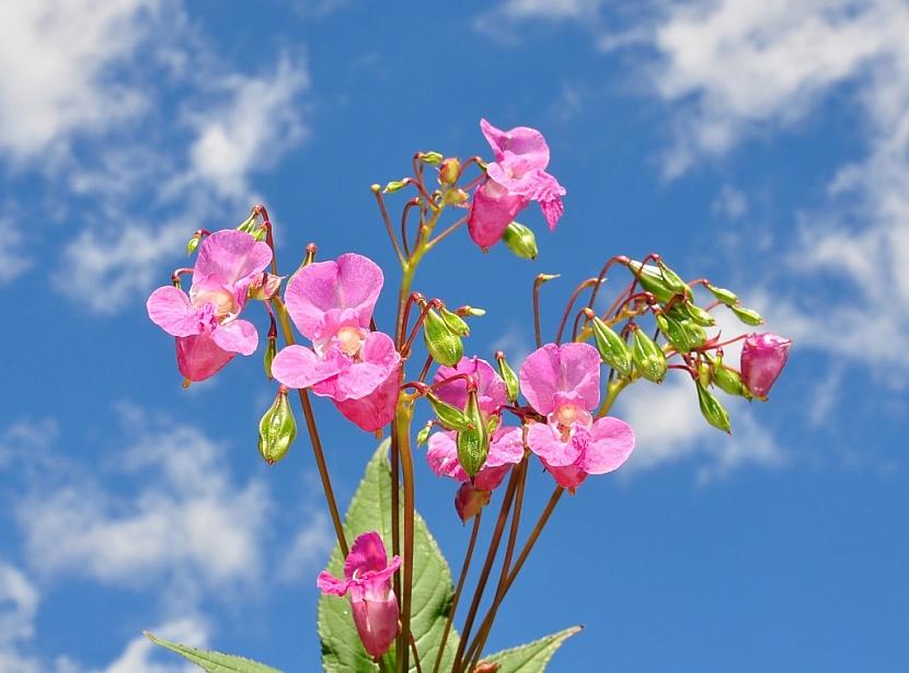 Květenství netýkavky žláznaté