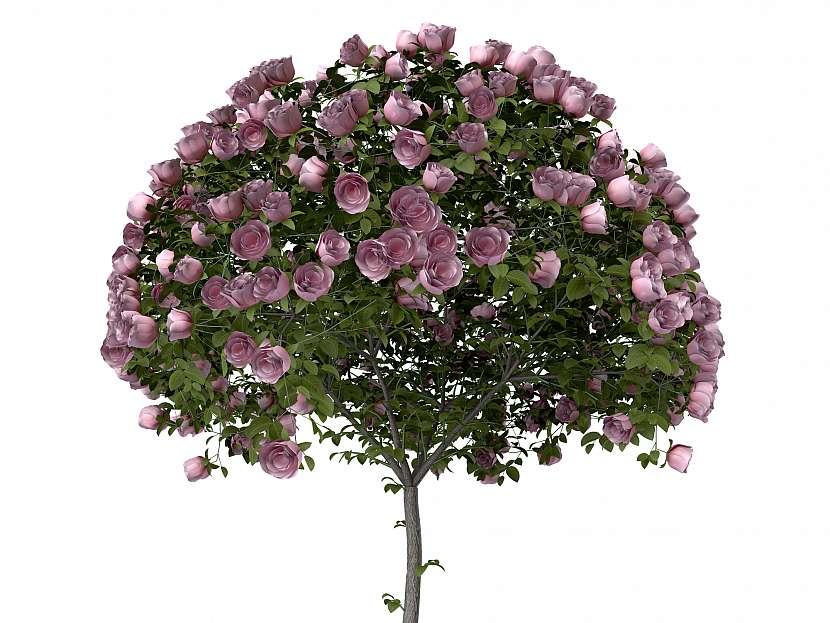 Stromkové růže jsou velmi choulostivé