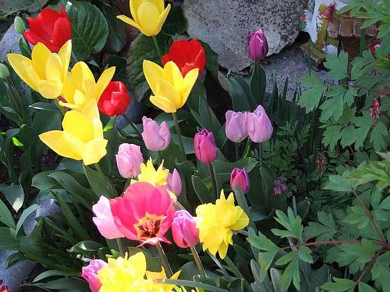 Je čas na výsadbu cibulek krokusů, narcisů, hyacintů (Zdroj: Pavlína Wagnerová Málková)