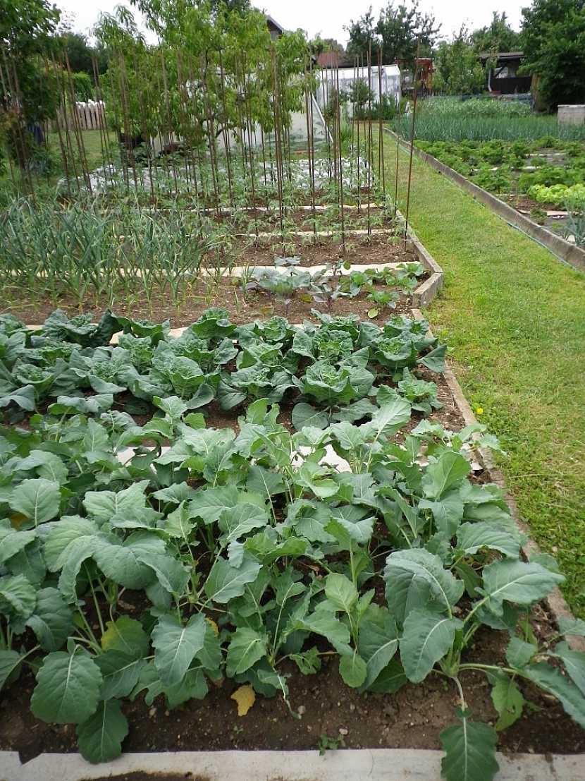 Kedlubnám prospěje dobře vyživená půda s přídavkem kompostu