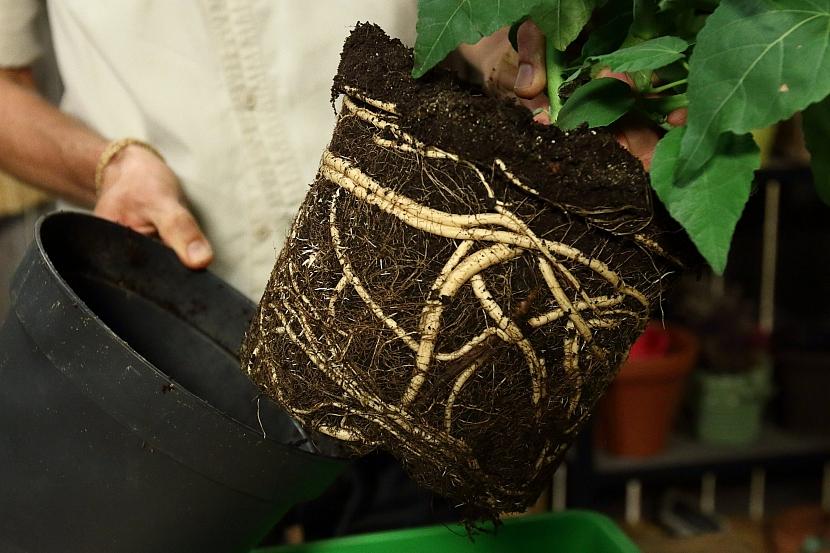 Kořeny bahenního ibišku jsou velmi dužnaté