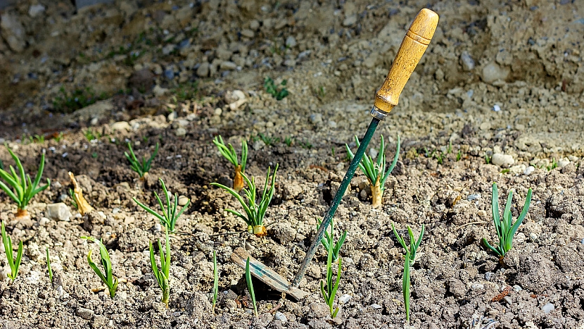 Pěstování cibule: nezapomínejte na pravidelné odplevelování a okopávání
