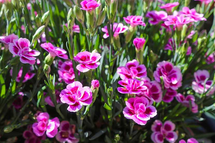 Růžový karafiát