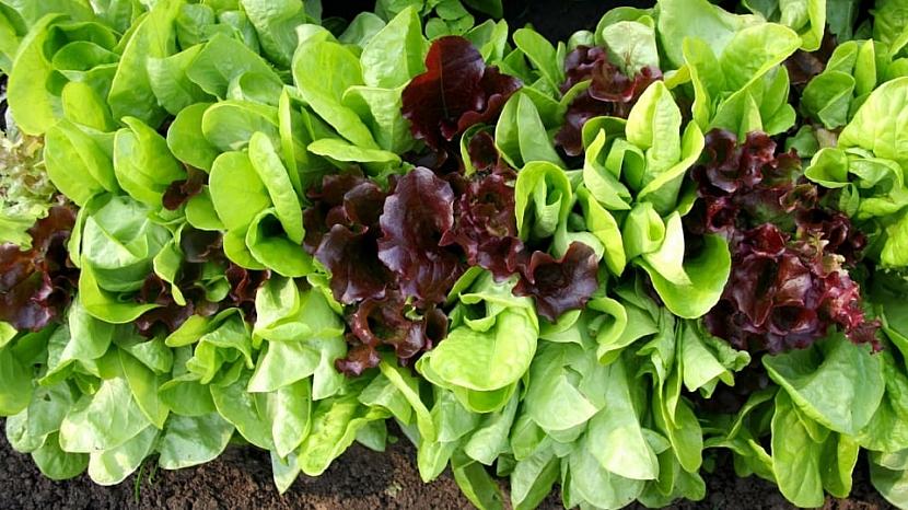 Směs listových salátů Baby leaf