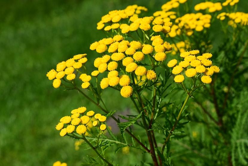 Vratič obecný (Tanacetum vulgare)