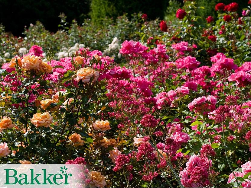 Růže v kombinaci s ostatními květinami
