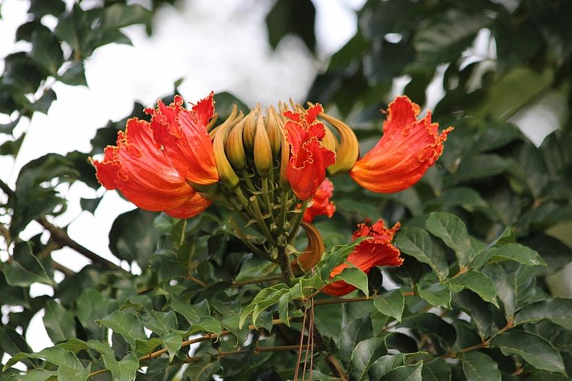 Stromy s nejkrásnějšími květy: Exotická krása rozkvetlých stromů 6