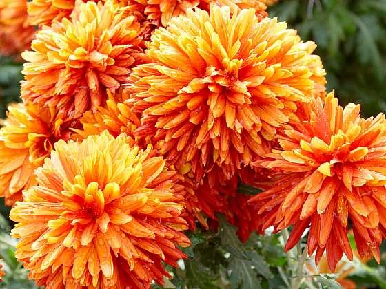 Chryzantémy na zahradě i v nádobách jsou hvězdami podzimu (Zdroj: Depositphotos (https://cz.depositphotos.com))