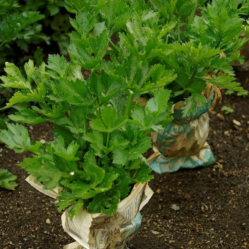 Celer, záhon