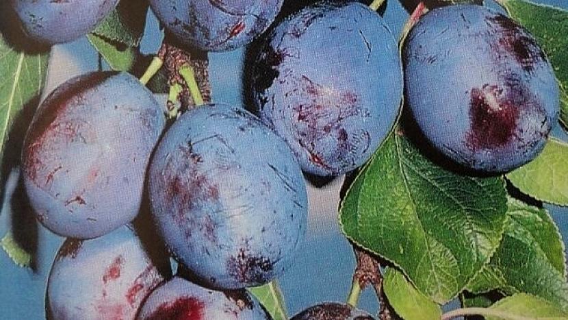 Pološvestka: odrůda Wangenheimova pochází z Německa