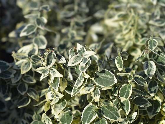 Při pěstování brslenu narazíte i na Eonymus fortunei 'Dan´s Delight' s krásnými bílé panašovanými listy (Zdroj: Depositphotos (https://cz.depositphotos.com))
