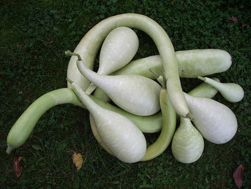 indicka okurka- kalabasa