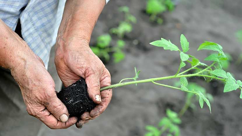 Zásady sázení rajčat: kořenový bal sazenice namočte do vody