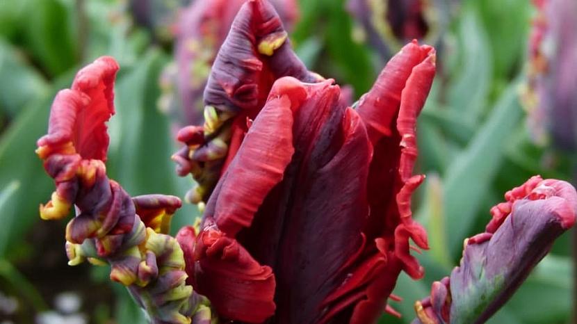 Jak na jaře pečovat o skutečné krále jarní zahrady: Tulipány 1