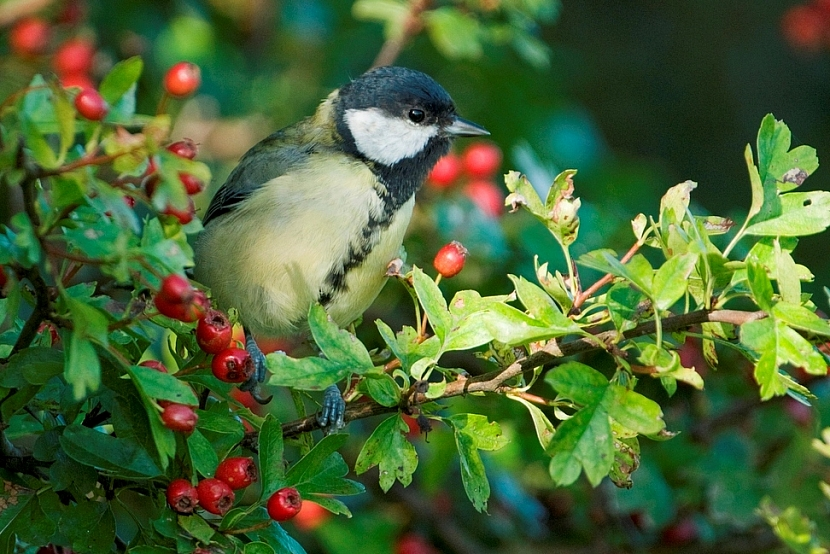 Okrasné keře pro ptáky: hloh obecný