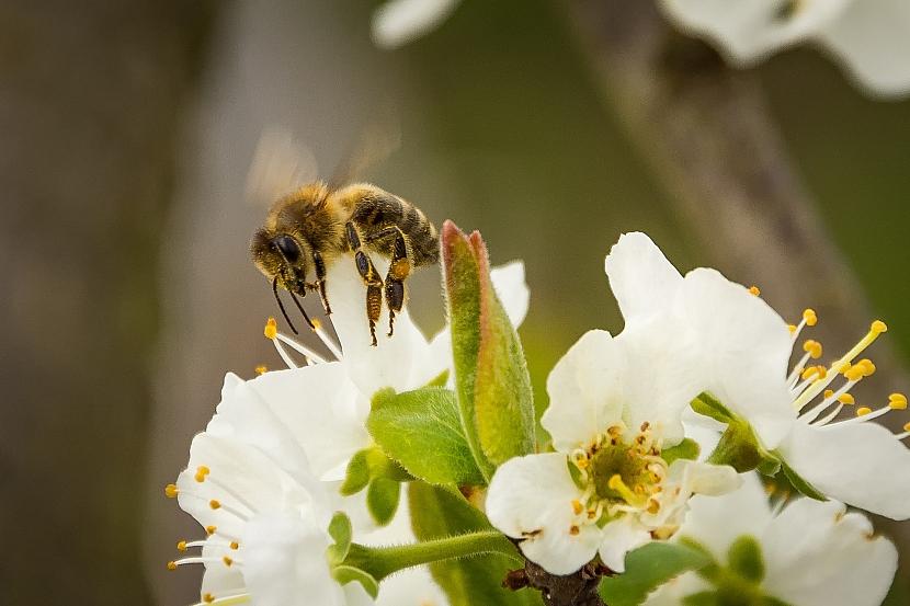 Ovocné stromy lákají včely nejvíce