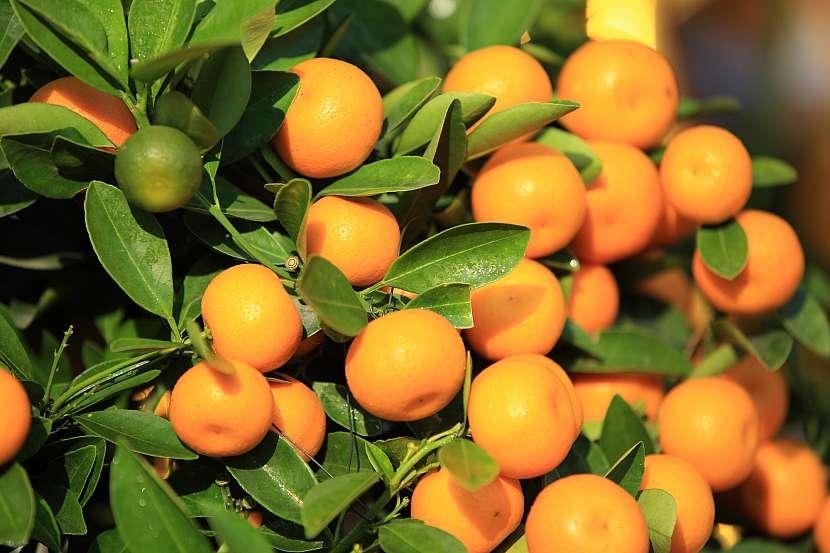 Citrusů je nepřeberná škála