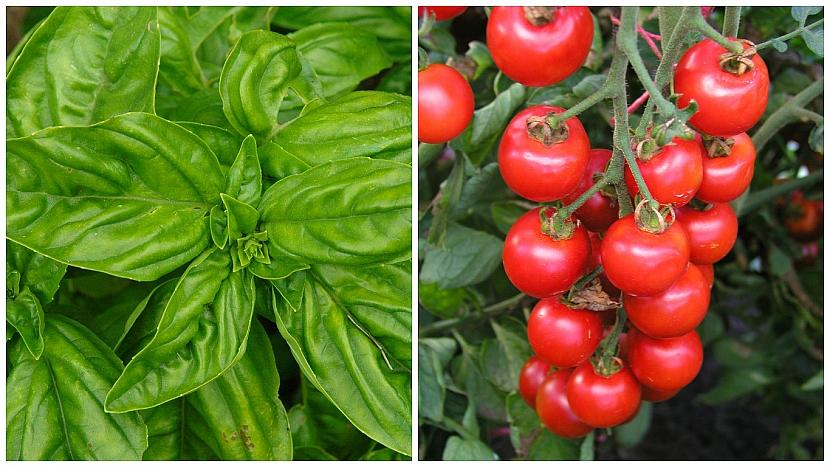 Bazalkapravá (Ocimum basilicum) si rozumí především s rajčaty