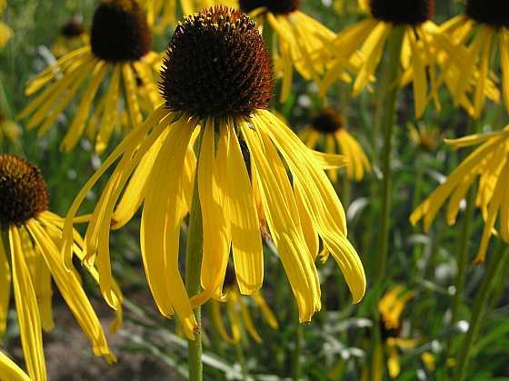 Třapatka zvláštní je atraktivní žlutě kvetoucí třapatka s hladkým lesklým listem (Zdroj: Ludmila Dušková)