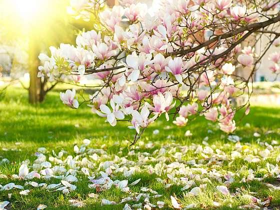 Vypěstujte si na zahradě magnolie, dodají jí nádech luxusu (Zdroj: Depositphotos (https://cz.depositphotos.com))