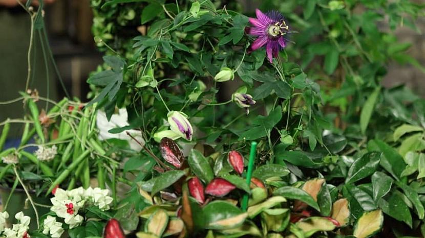 Jak pěstovat oblíbené květiny našich babiček: Mučenka, blahokeř a voskovka 1