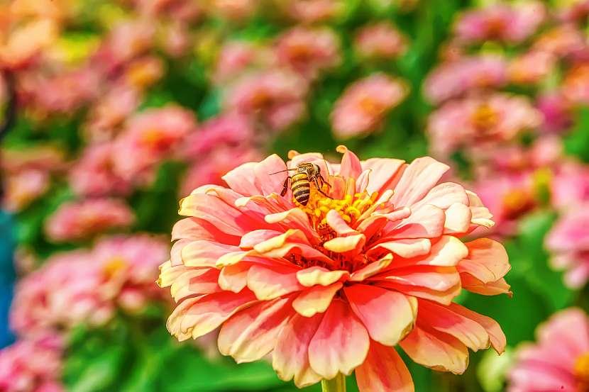 Kvetoucí letničky nelákají jen včely