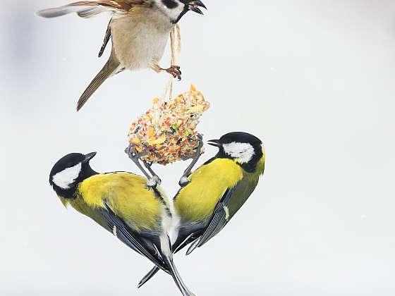 Lojová koule pro ptáky vlastní výroby. Není nic lehčího! (Zdroj: Depositphotos (https://cz.depositphotos.com))