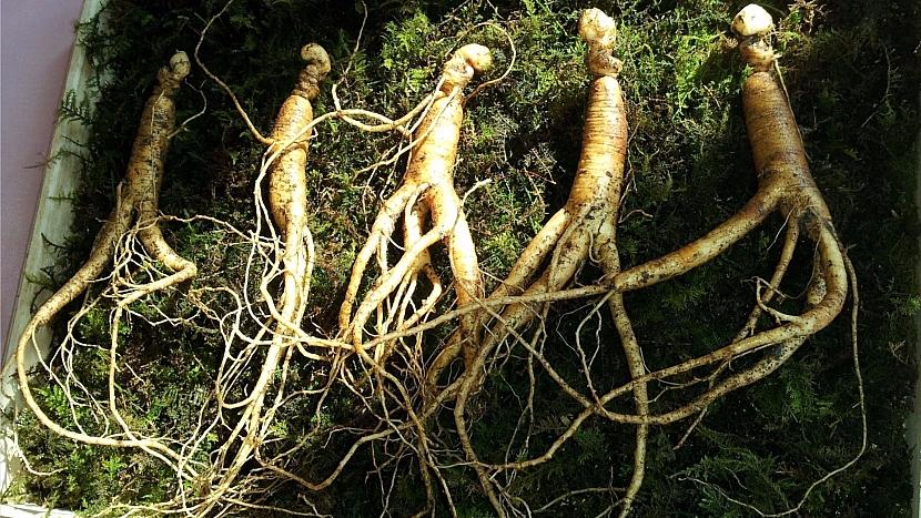 Skrytá řeč rostlin: kořen ženšenu vypadá jako tělo člověka
