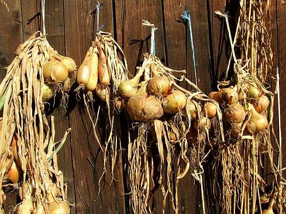 Vytříděnou cibuli zavěste k sušení (Zdroj: Ludmila Dušková)