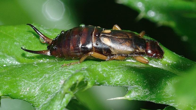 Předpověď počasí a zahrada: škvoři patří k užitečným živočichům, pomáhají likvidovat mšice