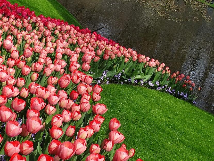 Tulipánový záhon