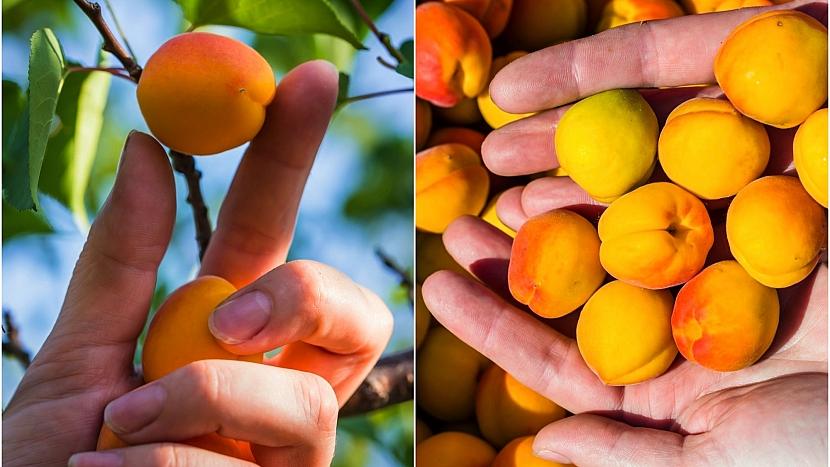 Optimální dobu sběru zjistíte mírným pootočením meruňky směrem k větvičce
