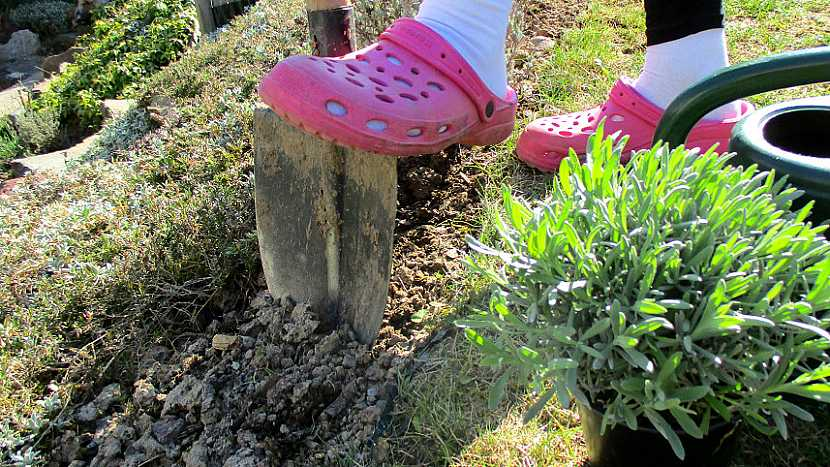 Jak zasadit na zahradě levanduli 2